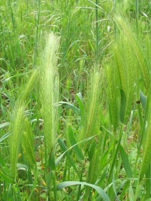 wild-grasses1