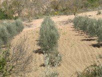 olive-grove-from-across-the-river2
