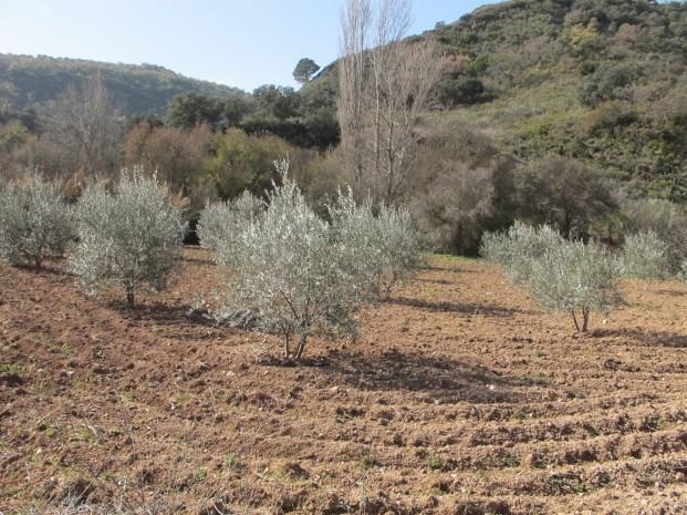 olive-grove2