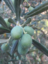 olives on the tree2