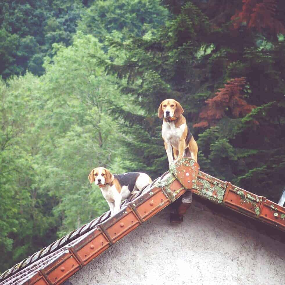 Dogs on a roof, France (2014-08)