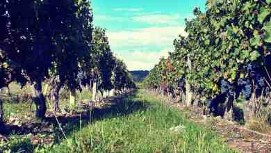 Five tips for working in the wine harvest in France