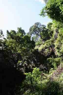 Looking up at trees in Chinhoyi Caves National Park, Zimbabwe (2012-04)