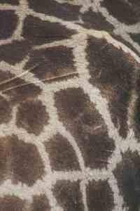 Giraffe skin pattern in Etosha National Park on day 2, Namibia (2012-02)