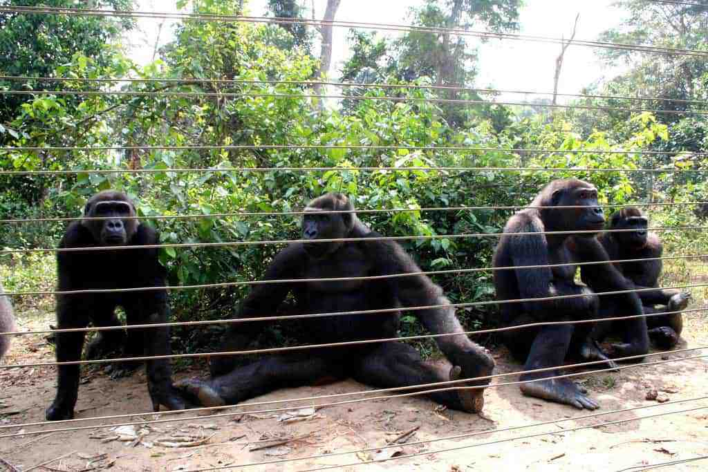 Gorillas behind a fence in Mefou Ape Sanctuary, Cameroon (2012-01)