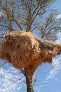 Giant birds' nest, Namibia (2012-02)