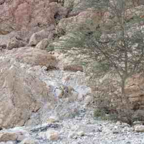Rock Hyrax escaping, Ein Gedi Nature Reserve, Israel (2017-01-04)