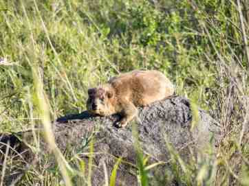A Rock Hyrax lounging, Capernaum, Sea of Galilee, Israel (2017-01-22)