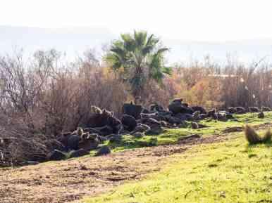 Dozens of Rock Hyrax, Capernaum, Sea of Galilee, Israel (2017-01-22)