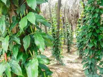 Long pepper plants, La Plantation, Kampot, Cambodia (2017-04-29)
