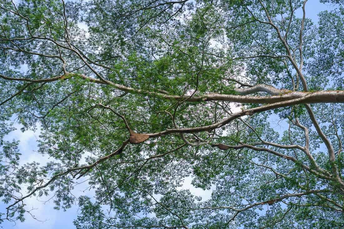 Bees' nests in mother trees, coffee country, East Timor