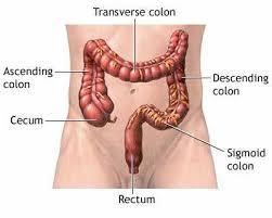 What Are Four Types of Caecum In Appendix