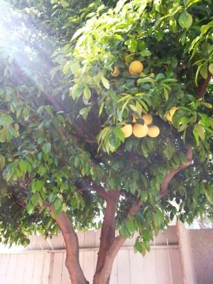 20150307_115248 Palm Desert Grapefruit Tree