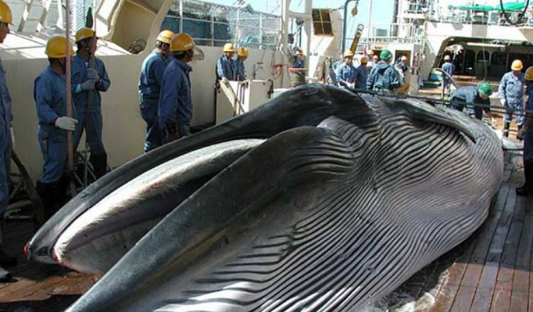 Japón en Controversia Mundial por iniciar Caza de Ballenas