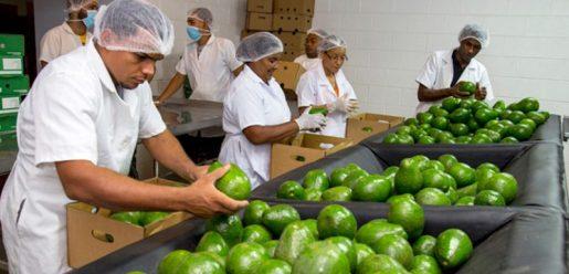 Aguacates: RD exporta más de US$30 millones anuales