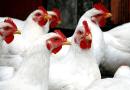 Abate de frango registra aumento recorde e sexto crescimento consecutivo na BA; consumo de ovos teve alta de 31%