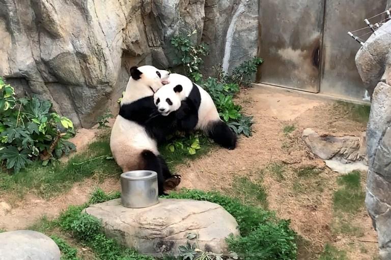 Tras una década de intentos fallidos, dos pandas por fin se aparean 1