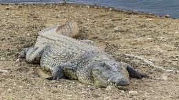 cocodrilo-Uganda