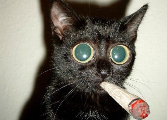 Gato drogado y adicto