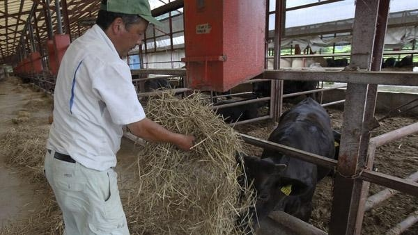 PASTO RADIACTIVO. Más de 600 vacas fueron alimentadas con forraje contaminado.