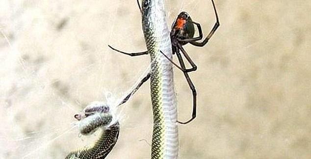 42433d914d50be2debde725181e28d45 - Araña se tragó una serpiente