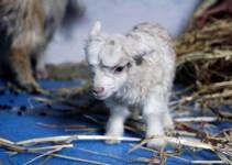 4d42f1627cdeca7f951adf8486372c1a - Noori la primera cabra clonada
