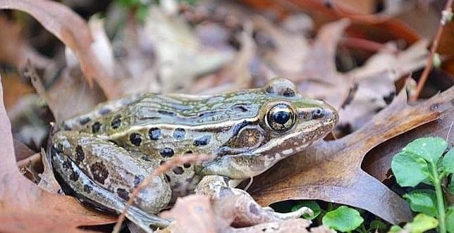 c9b32c98563233aa501943c67fb2ecac - Descubren una nueva especie de rana en Nueva York