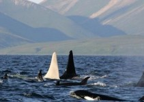 d9640fd356a2fdd2860810454b9f9005 - Avistan por primera vez una Orca blanca adulta