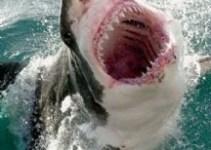 02d8012e1db1554c5c16460f67368f3a - Pescadores enfrenta a tiburón blanco que devora al tiburón azul que habían atrapado