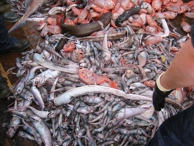 52804e667e51a1ffe5b4b23ad3f56e8f - La mitad de los peces pescados en Europa se tiran muertos al mar