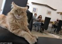 d445b01ba03740c92cedaef09d42b01f - En Viena abren el primer café para gatos de Europa