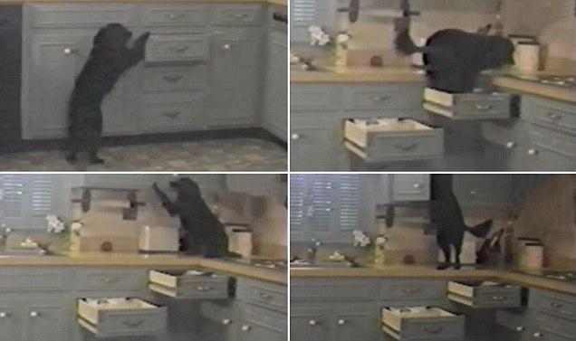 231c2bd7fb11008fb2e7d39571fa3add - No es un ladrón de guante blanco: Crafty es un perro que abre cajones de la cocina para llegar al armario de la comida