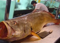856eede84569e787f889276a13687c4c - Pescador atrapa un pez de una especie muy escasa y se hace rico