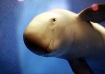 286a7da6e8285f102ae4f70ad61cf6d9 - ¿El fin del delfin chino? Los manatíes del río Yangtsé, en peligro de extinción