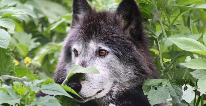 6e0276851e78f5b89c8a52e43d37e026 - Antiguos mexicanos crearon una raza de perros lobo