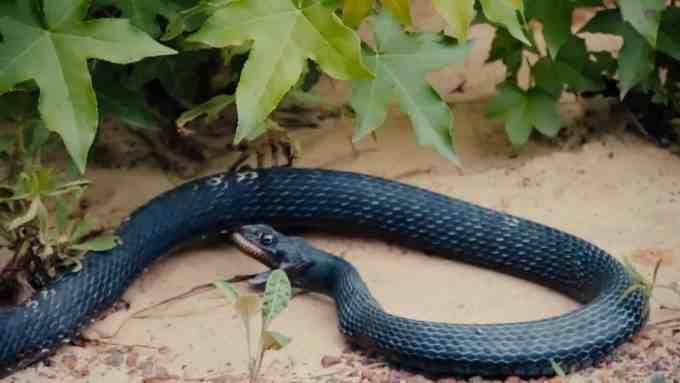 d3925080f5f5957499cc334839e9d455 - #Video Serpiente vomita a otra serpiente viva