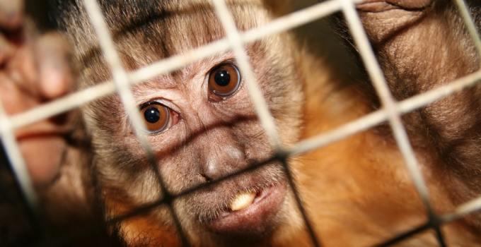 Monos con genes humanos 4 - Científicos crean Monos con Genes Humanos