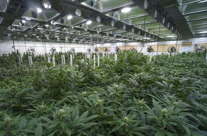"""Cannabis hermanas - Todo lo que tienes que saber sobre """"El Cannabis"""""""
