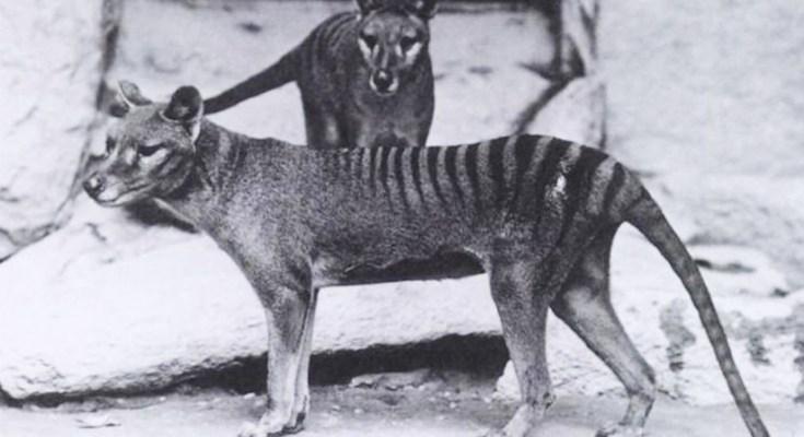 extinto Tigre de Tasmania