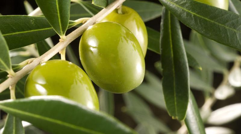 La producción de aceite de oliva es un 56% menor a la pasada campaña
