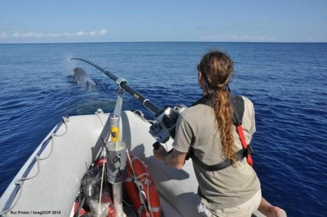 Investigadores utilizando una pértiga para etiquetar un cachalote frente a las Azores. (Foto: Rui Prieto)