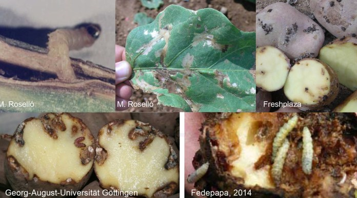 patatas polilla guatemalteca