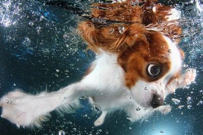 underwater-puppy-photography-seth-casteel-1-400x266 Noticias de perros - Inicio