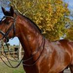 El mejor caballo salmantino preseleccionado juegos Olímpicos 2016
