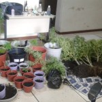 AÇÕES POLICIAIS – Polícia apreende 30 pés de maconha dentro de casa em Saquarema
