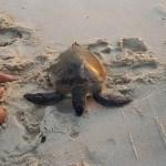 SAQUAREMA – Tartaruga presa em rede é devolvida ao mar em Saquarema
