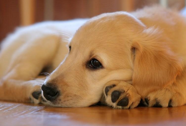 Meu Amado Pet: seu cão pode estar com leishmaniose e você não percebeu