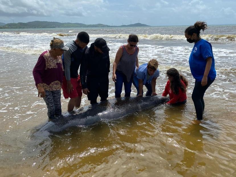 El manatí fue rescatado por personal de Manejo de Emergencias de Humacao, el Centro de Conservación de Manatíes y el DRNA.