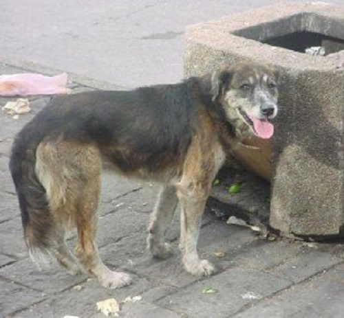 solo el 10 por ciento del total de los perros son callejeros los demás tienen dueños irresponsables