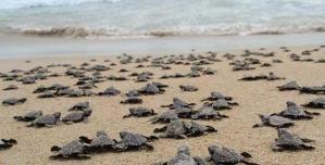 Nacen miles de tortugas en playas de Sonora, tras ausencia de turistas y pandemia